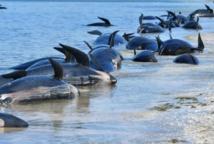 Nouvelle-Zélande: nouvel échouage de baleines