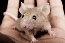 Les mêmes odeurs attirent les hommes et les souris