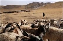 La Chine clone des chèvres qui produisent plus de cachemire