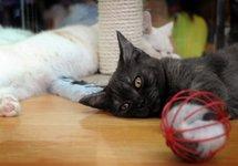 Les chats nés sourds voient mieux, un exemple de réorganisation du cerveau