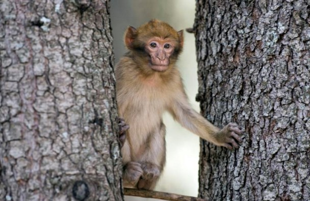 Le Maroc veut sauver le singe magot, un macaque en danger