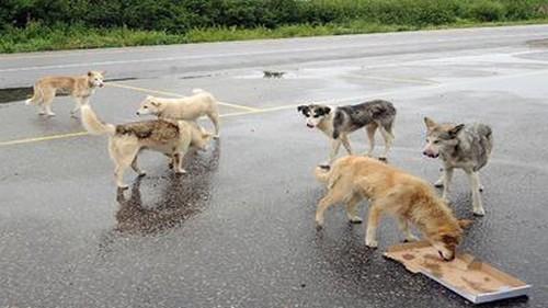Thaïlande: des chiens errants équipés de caméras de surveillance