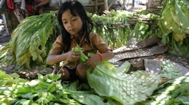 Indonésie: des milliers d'enfants employés dans les plantations de tabac
