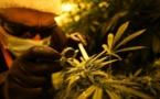 En Italie, des narcos de l'armée couvent le cannabis thérapeutique