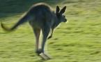 Un kangourou rompt les implants mammaires d'une Australienne