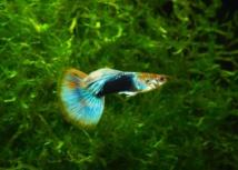 Le venin d'un petit poisson du pacifique source possible d'un nouvel
