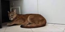 Brésil: un puma évacué d'un bureau en pleine ville