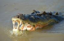 Australie: Un couple se fait surprendre par un crocodile le jour de Noël