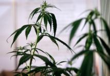 Pas de dépénalisation mais des amendes contre le cannabis en France