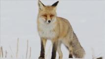 Turquie: Un renard en quête de nourriture photographié en ville