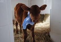 Argentine: une vache clonée pour produire du lait maternel humain