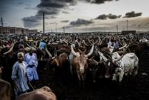 Nigeria: comment répondre à la demande en viande de 200 millions d'habitants ?