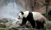 Le zoo de Beauval rêve d'une prolongation pour les pandas chinois
