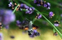 Un détecteur d'explosifs ultra-sensible s'inspire des antennes d'un papillon