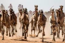 Le Sinaï retrouve ses courses de chameaux interrompues par le coronavirus