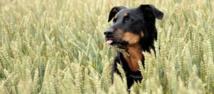Les chiens s'orientent grâce à une sorte de boussole interne