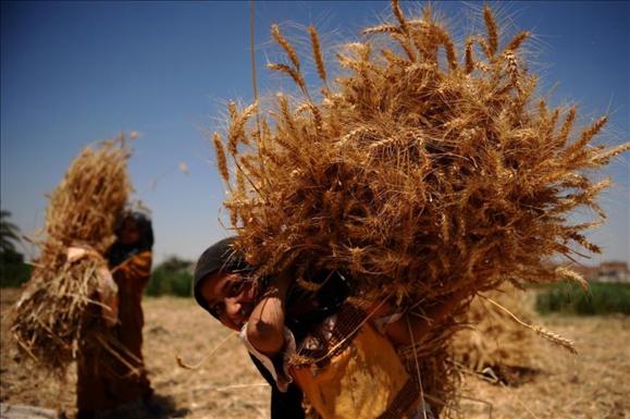 Blé: L'Afrique futur grenier du monde? Rien ne l'empêche théoriquement !