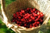 La France suspend les importations de cerises traitées au diméthoate