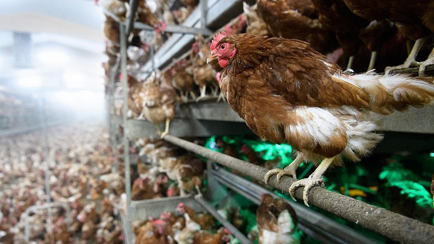 Grippe aviaire : Abu Dhabi interdit l'importation d'oiseaux vivants en provenance des Pays-Bas