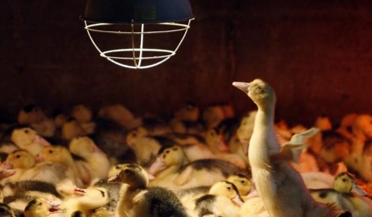 8.500 canards euthanasiés dans les Deux-Sèvres