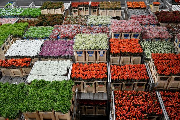 Les fleurs néerlandaises décrépissent face au Brexit