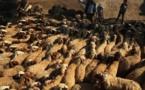 Maroc : 9 millions de têtes de bétails disponibles pour la fête du Sacrifice