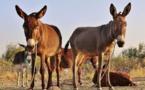 La Chine relance le marché des ânes au Nigeria