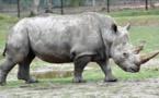 Kenya: mort de Sudan, le dernier rhinocéros mâle blanc du Nord