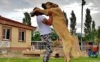 """Le """"Lion d'Anatolie"""", race canine turque mondialement connue"""