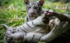 Deux petits tigres blancs blancs arrivent au Nicaragua