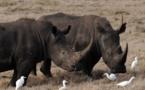 17 rhinocéros noirs sud-africains envoyés au Malawi