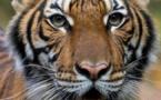 Coronavirus: Un tigre contaminé dans un zoo de New York